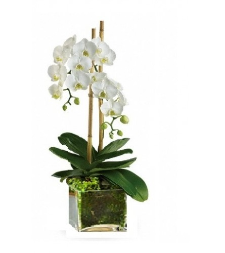A white orchid plant in a stylish glass container concierge a white orchid plant in a stylish glass container mightylinksfo